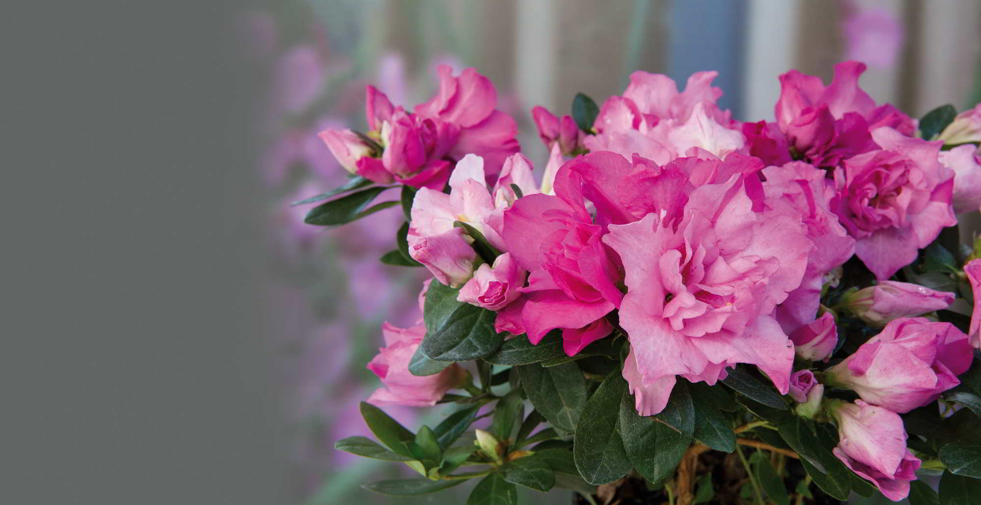 ca01b631 Azaleia: beleza clássica - Revista Natureza